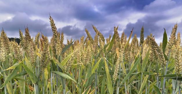 Campo di grano sopra il cielo drammatico nuvoloso