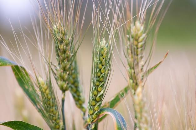 Campo di grano. spighe di grano dorato si chiudono.