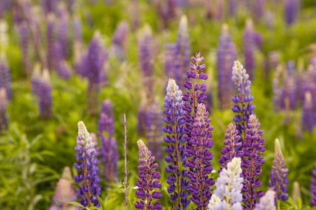 Campo di lupino con fiori rosa viola e blu. mazzo di priorità bassa del fiore di estate dei lupini. lupinus.