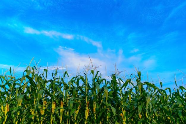 Campo di mais in giornata limpida, albero di mais con cielo nuvoloso blu