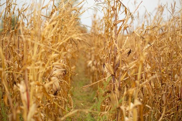 Campo di mais. mais giallo secco stagionato, tempo di raccolta. stagione del mais