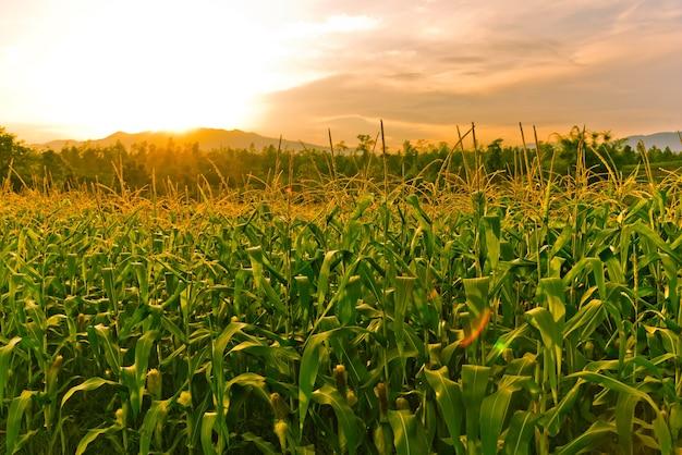 Campo di mais nel tramonto