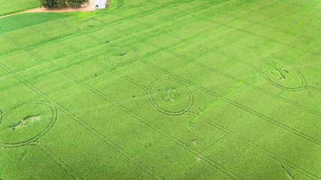 Campo di mais. veduta aerea, coltivazioni di mais coltivate.