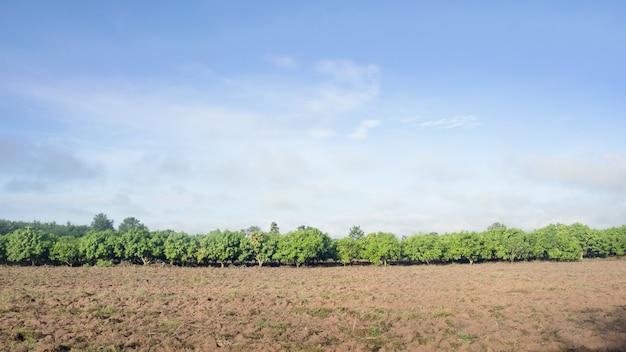 Campo di mango di una fioritura in un paese tropicale. concetto agricolo