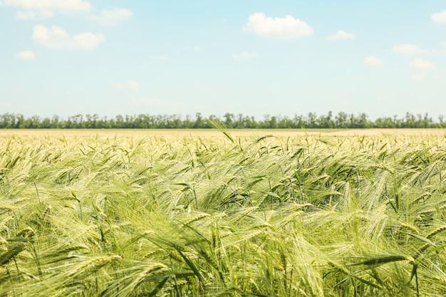 Campo di orzo verde contro il cielo, spazio per il testo. agricoltura