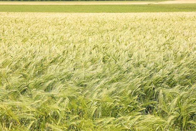 Campo di orzo verde, spazio per il testo. agricoltura