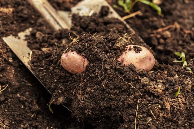 Campo di patate con terreno