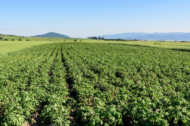 Campo di patate in estate in romania, transilvania.