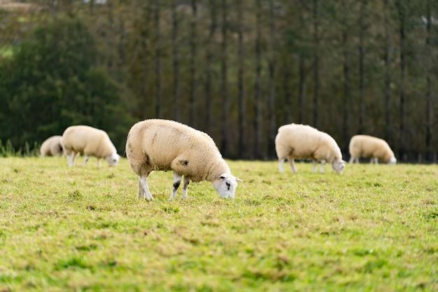 Campo di pecore bianche negli altopiani in cielo