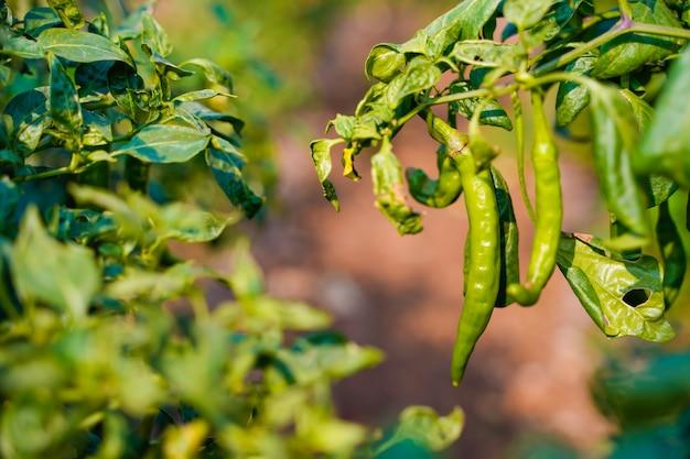 Campo di peperoncino verde in india