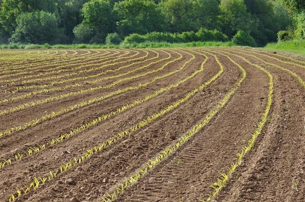 Campo di piantine di mais