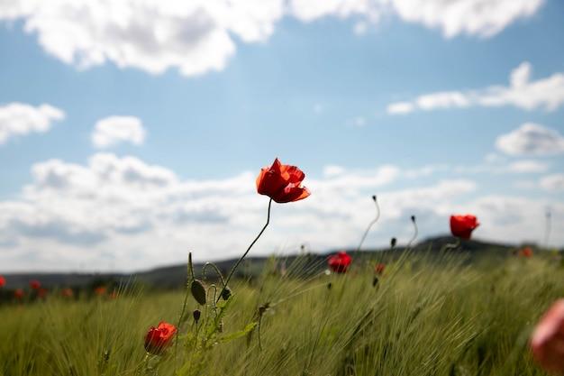 Campo di primavera di spighe di grano con fiori di papavero contro il cielo blu con nuvole bianche.