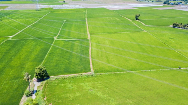 Campo di risaia aerea in lop buri, tailandia