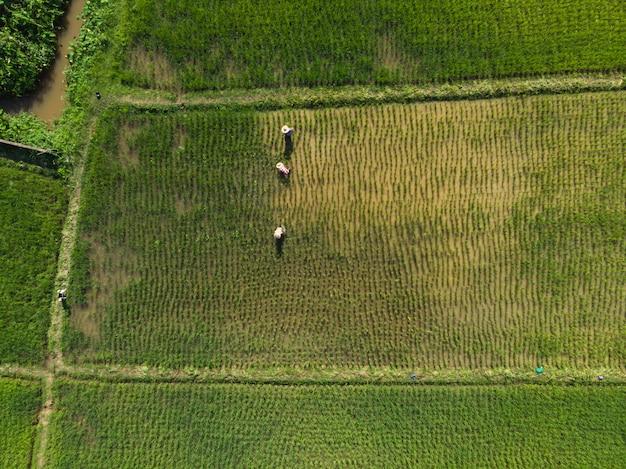 Campo di risaia di inondazione del controllo dell'agricoltore con la pianta di riso