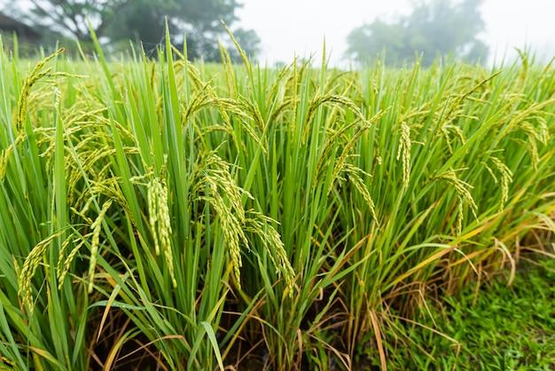 Campo di riso con percorso al mattino