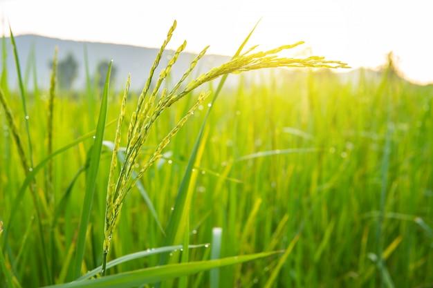 Campo di riso prodotto dall'agricoltore.