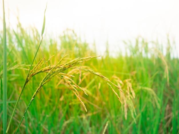 Campo di riso verde natura