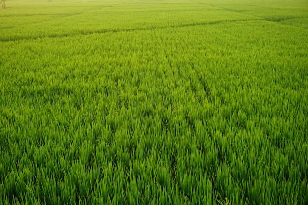 Campo di riso verde