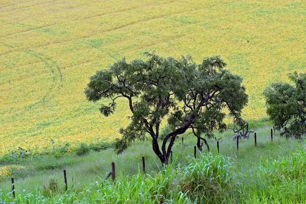 Campo di semi di soia in maturità