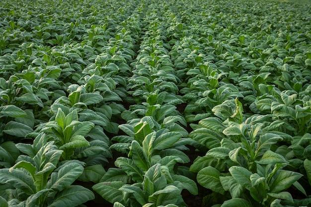 Campo di tabacco, colture a foglia larga del tabacco che crescono nel campo di piantagione di tabacco.
