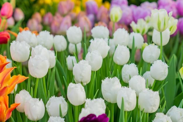 Campo di tulipani colorati in fiore