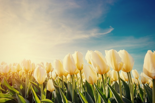 Campo di tulipani gialli. effetto tonificante colorato.