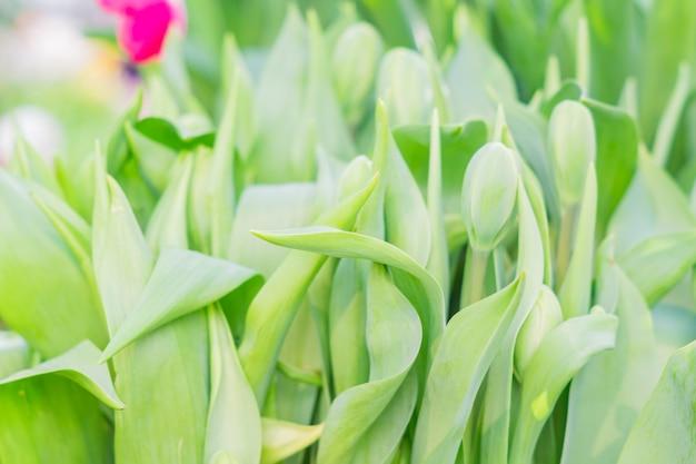 Campo di tulipani multicolori in fiore