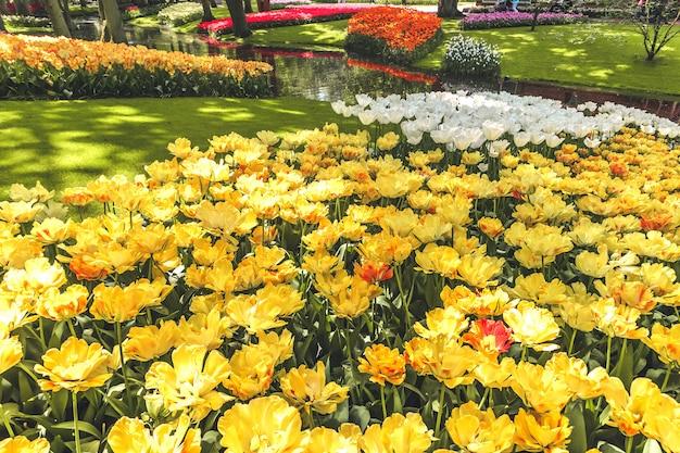 Campo di tulipani nei giardini di keukenhof, lisse, paesi bassi