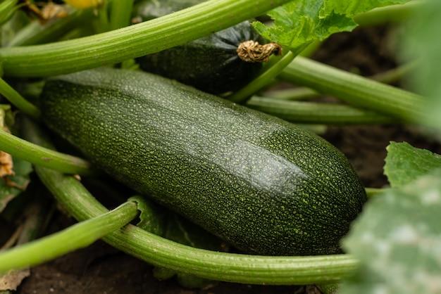 Campo di zucchine verdi