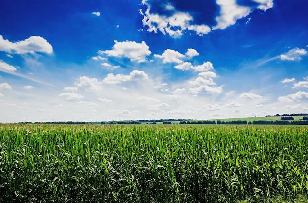 Campo estivo contro il cielo blu. bel paesaggio.