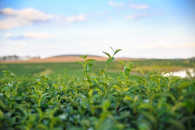 Campo fresco del tè verde del primo piano con il fondo del cielo blu. concetti ambientali.