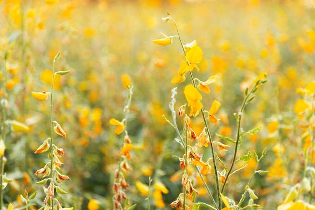 Campo giallo dei fiori (canapa di sunn) alla luce solare con il fuoco selettivo