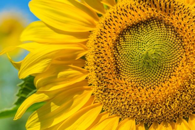 Campo giallo di girasoli