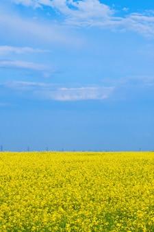 Campo giallo sbocciante di canola