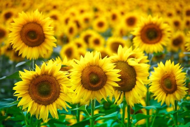 Campo infinito con girasoli fioriti gialli brillanti, soft focus