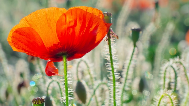 Campo rosso del papavero di estate nel campo