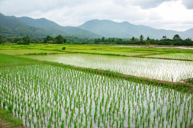 Campo verde della pianta di riso con acqua
