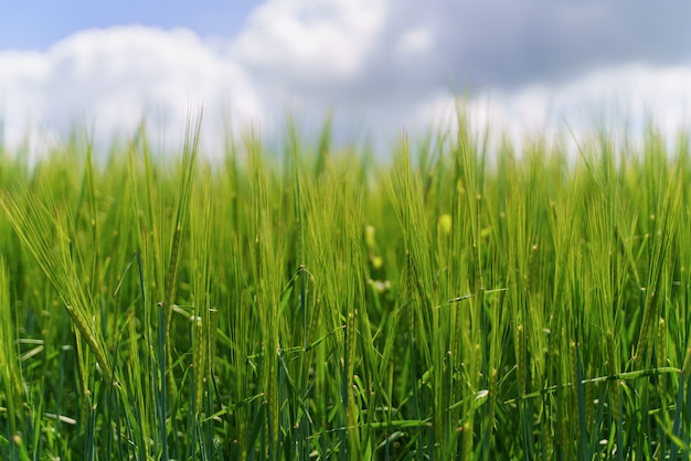 Campo verde fresco e cielo nuvoloso blu