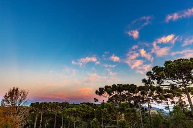 Campos do jordao, brasile. albero di araucari, molto tipico della città