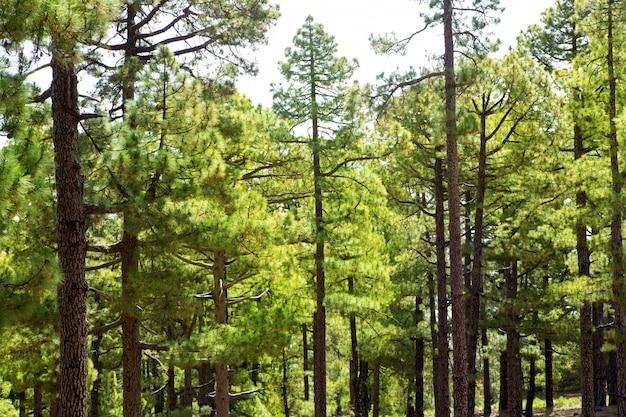 Canary pines la palma nella caldera de taburiente