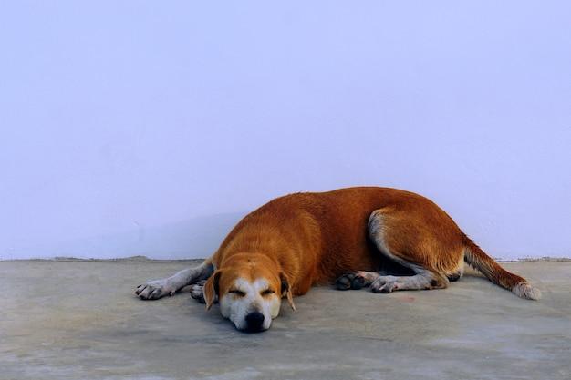 Cane addormentato su uno sfondo bianco