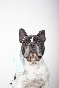 Cane adorabile del bulldog francese con la maschera protettiva che pende da un orecchio con lo spazio della copia su un fondo bianco. maschera antivirus protettiva.