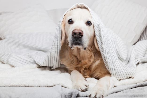 Cane annoiato del golden retriever sotto il plaid a strisce grigio chiaro e bianco