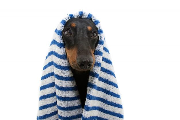 Cane bassotto ritratto avvolto con un asciugamano a strisce blu pronto per il bagno, il bagno o la doccia.