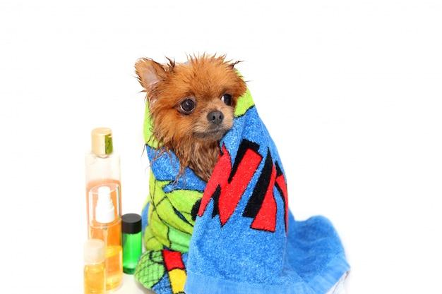 Cane ben curato. un cane pomeranian fare la doccia. cane in bagno. toelettatura per cani