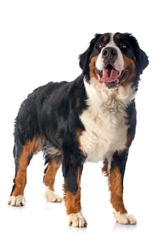 Cane bernese moutain
