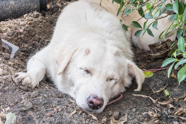 Cane bianco che dorme