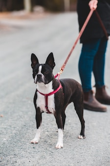 Cane bianco e nero a pelo corto con colletto blu