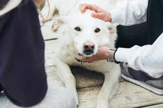 Cane bianco giace su un pavimento di legno e la gente accarezza la testa. labrador è un amico dell'uomo. fiducia e amicizia