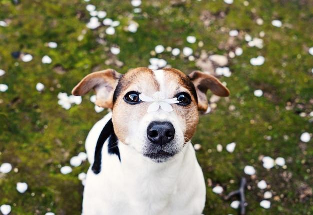 Cane che guarda l'obbiettivo con fiore di ciliegio sul naso